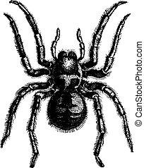 Tarantula, vintage engraving. - Tarantula, vintage engraved...