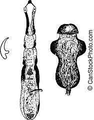 taenia, echinococcus, vendange, engraving.,