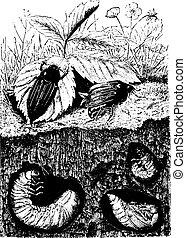 Beetles, vintage engraving. - Beetles. Male, female, larvae...