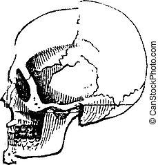Skull white male, vintage engraving.