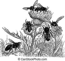 Bees, vintage engraving.