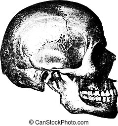 Side view of skull, vintage engraving. - Side view of skull,...