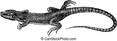 Dotted green lizard, vintage engraving.