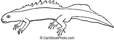 Aquatic salamander, vintage engraving. - Aquatic salamander,...