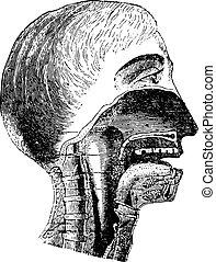 vertical, sección, de, el, boca, y, faringe,...