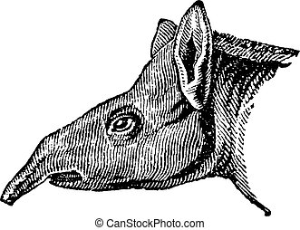 Tapir, vintage engraving. - Tapir, vintage engraved...