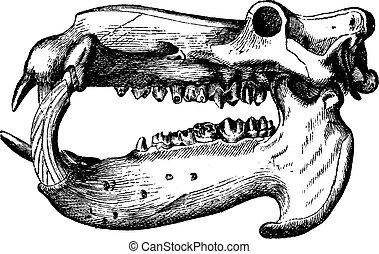 Hippopotamus skull, vintage engraving.