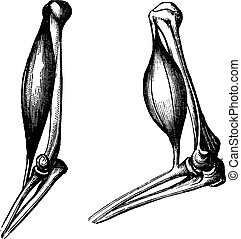 The biceps before and after contraction, vintage engraving....