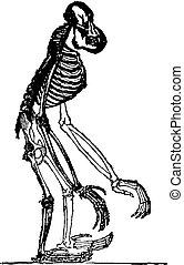 Skeleton of orang, vintage engraving.