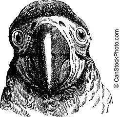 Parrot, vintage engraving. - Parrot, vintage engraved...