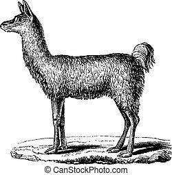 Lama, vintage engraving. - Lama, vintage engraved...