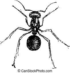Ant, vintage engraving.