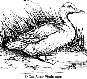 Domestic duck, vintage engraving.