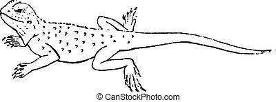Agama lizard of the genus, vintage engraving.