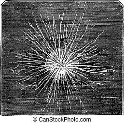 Rhizopod, vintage engraving.