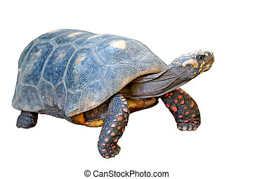 redfoot tortoise on white background - redfoot tortoise...