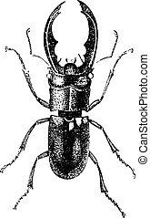 Metal stag beetle, vintage engraving.
