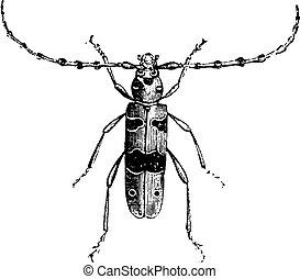 Longhorn beetle Alpine, vintage engraving.