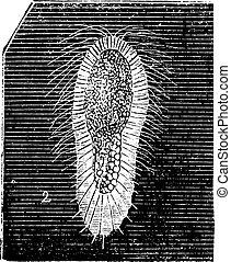 larva, fibroso, esponja, vendimia, engraving.,