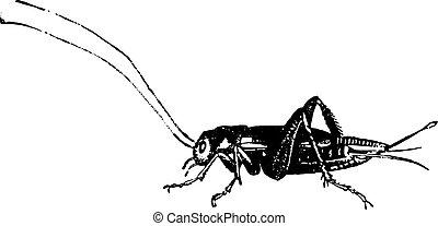 Domestic cricket, vintage engraving. - Domestic cricket,...