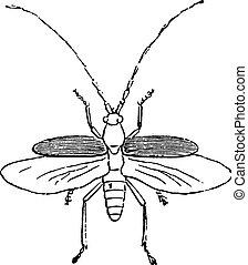 Beetle, vintage engraving.
