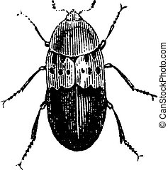 Larder beetle, vintage engraving.