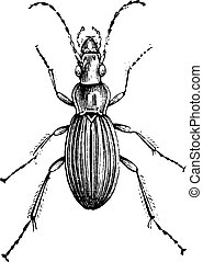 Insect of the genus Carabus, vintage engraving - Insect of...