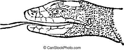 Tongue Lizard, vintage engraving.