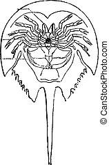 Horseshoe crab, vintage engraving.