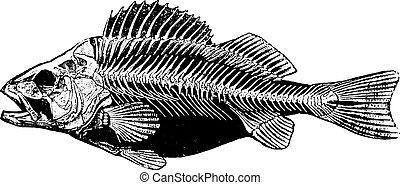 Fish skeleton, vintage engraving. - Fish skeleton, vintage...