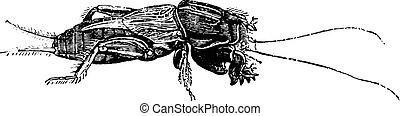 Mole cricket, vintage engraving.