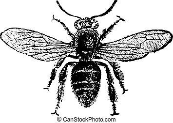 Worker bee, vintage engraving. - Worker bee, vintage...
