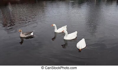 geese swimming - group Domestic geese float in water