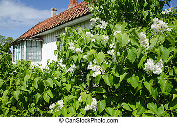 Blossom white lilacs in an old garden in Sweden