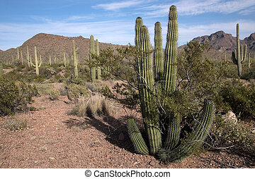 Organ Pipe Cactus N.M., Arizona, USA - Organ Pipe Cactus...