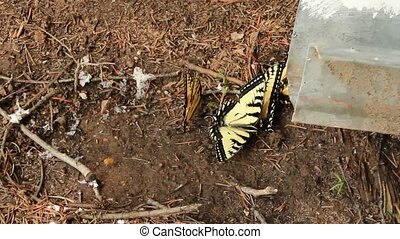 Swallowtail butterflies - Several Swallowtail butterflies in...