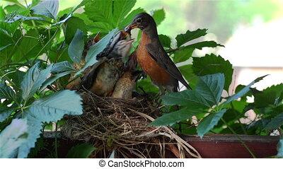 Robin Bird Feeding Her Babies