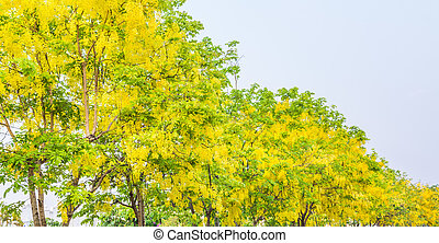 Golden Shower flower in Chiang mai Thailand - image of...