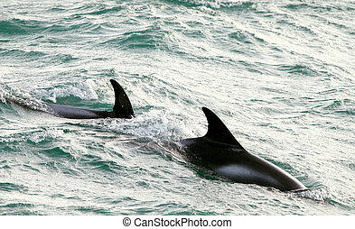 Dolphines - Two dorsal fins of theWhite-beaked dolphin