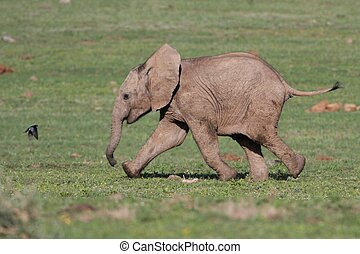 Baby Elephant and Bird - Baby African elephant chasing a...