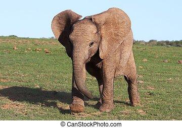 Baby African Elephant - baby African elephant running across...
