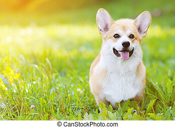 Happy dog Welsh Corgi Pembroke on the grass in summer sunny...