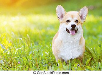 Happy dog Welsh Corgi Pembroke on the grass in summer sunny...