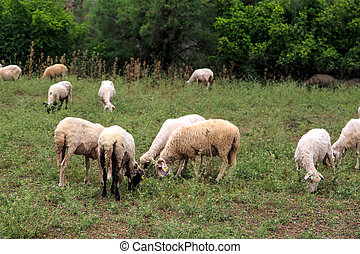 Sheep Cropping in Meadow - Close up view of sheep cropping...