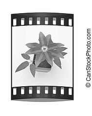 Clematis a beautiful flower in the colorful pot. The film...