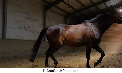horse galloping in circles inside hall - a dark brown horse...