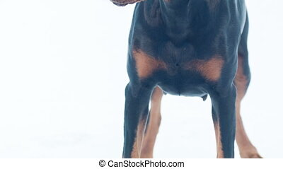 Front view of barking dobermann pincher - Who is there....