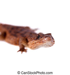 Transvaal Girdled Lizard on white background - Transvaal...
