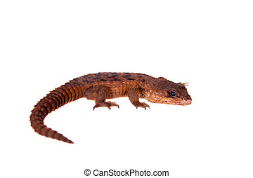 Transvaal Girdled Lizard on white background. - Transvaal...