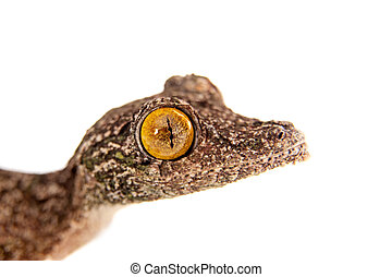 Leaf-tailed Gecko, uroplatus sameiti on white - Leaf-tailed...